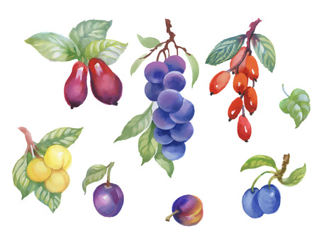 Watercolor berries, plum and other fruit on white background.