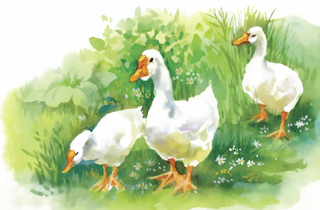 animal farm duck: Geese flock swimming on pond watercolor vector illustration.