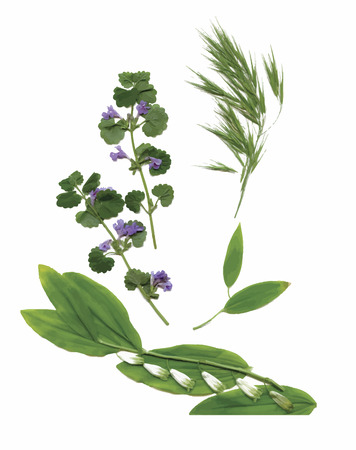 cowberry: Dry herbarium plants. flowers and leaves vector illustration. Illustration