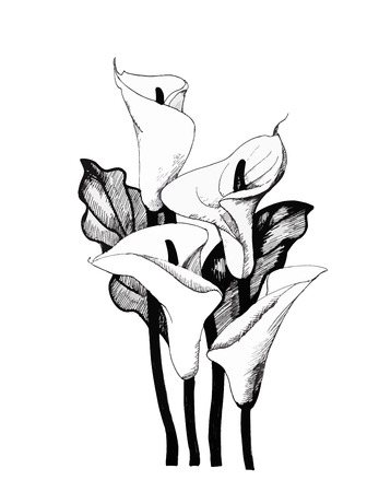 lily: Calla lilly floral, black and white illustration background.