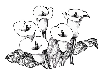 white lilly: Calla lilly floral, black and white illustration background.