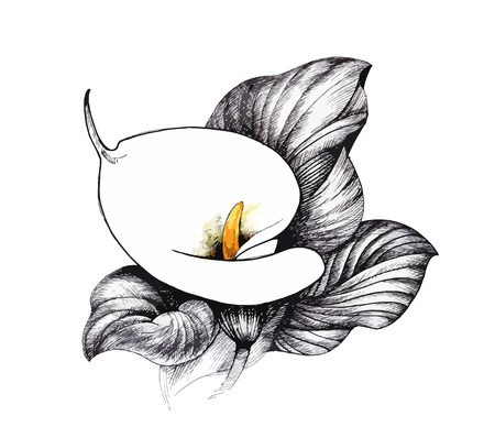Calla lilly floral, black and white illustration background.
