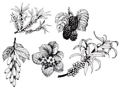 blackberries: Blackberries, strawberries and dogwood and sea buck-thorn berries, black and white illustration set.
