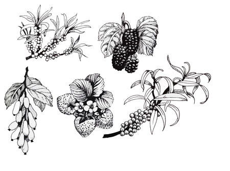 Blackberries, strawberries and dogwood and sea buck-thorn berries, black and white illustration set.