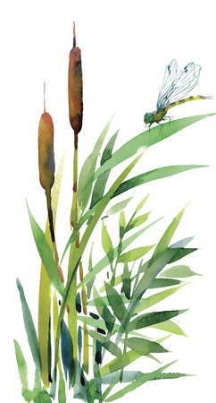 bulrush: Watercolor reeds with leaves closeup isolated on white background. Hand painting. Illustration