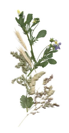 Herbarium with dry pressed Green summer meadow plant on white background Vettoriali
