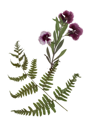 herbarium: Herbarium with dry pressed Green summer meadow plant on white background Illustration
