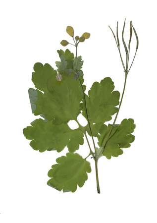 pressed: Herbarium with dry pressed Green summer meadow plant on white background Illustration
