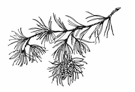 coniferous: Coniferous branch with pine cones