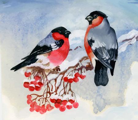 snowy: Bullfinch birds on snowy tree branch. Watercolor illustration.