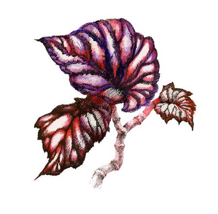 Garden coleus plant watercolor illustration