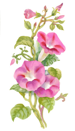 Aquarelle Été jardin fleuri Bind Weed bourgeons des fleurs