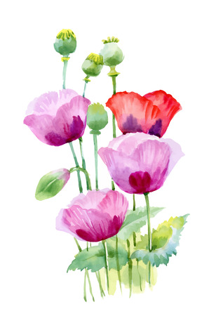 poppy flowers: Beautiful watercolor blooming poppy flowers Illustration