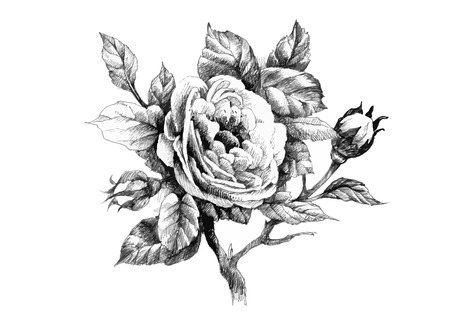 rose bouquet: Hand drawn garden rose flower isolated on white background