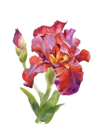De irisbloem van de illustratiewaterverf op witte achtergrond wordt geïsoleerd die.