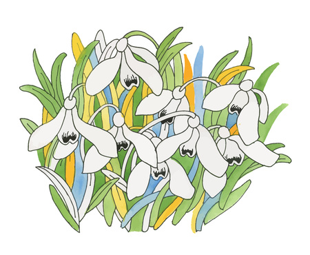 Watercolor snowdrops flower on white background. Illustration