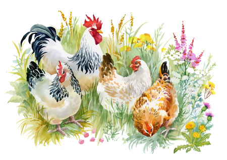 Chicken and rooster in the grass on white background.