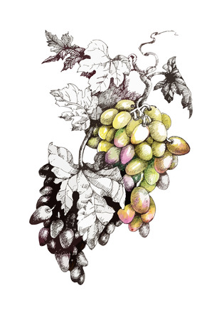 Hand drawn painting with colorful bunches of grapes and leaves on white background.
