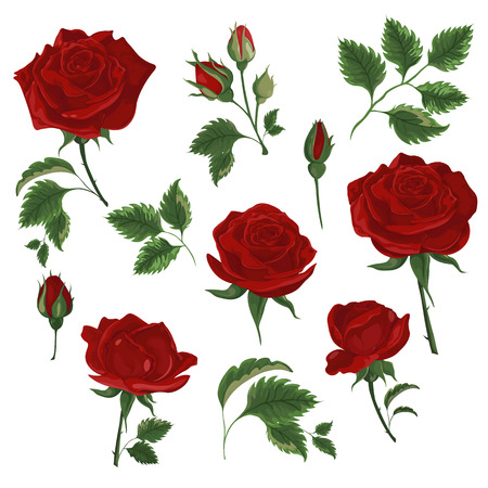 Set of red roses. Rose buds and leaves for decor design or holiday greetings template-vector 일러스트