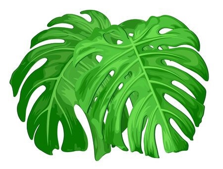 Large green leaves of tropical monstera plants isolated on white.