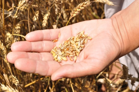 A handful of grains of wheat on hand, on wheat photo