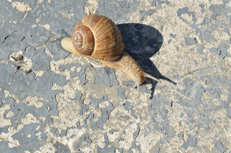 On a large concrete slab was crawling snail, top view Фото со стока