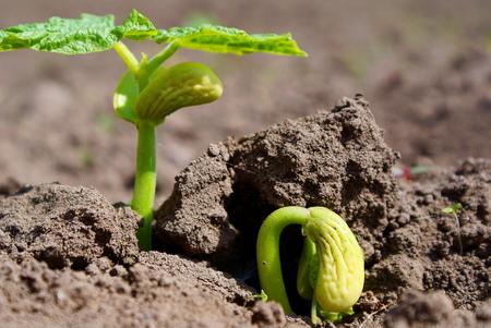 tierra fertil: Frijol germen rompe a trav�s de la tierra f�rtil