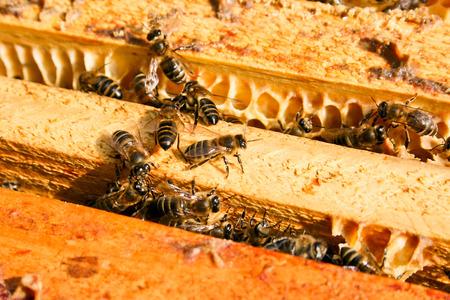 the bee: Abejas ocupadas, opinión del primer de las abejas que trabajan en el panal. Las abejas de cerca muestra algunos animales y la estructura de panal. Foto de archivo