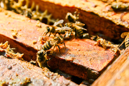 bee: Busy bees, close up view of the working bees on honeycomb. Bees close up showing some animals and honeycomb structure.