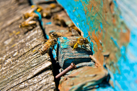 working animals: Busy bees, close up view of the working bees. Bees close up showing some animals.