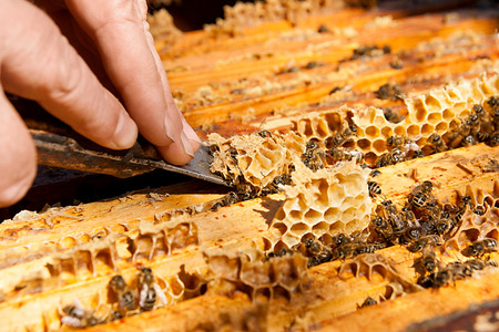 cluster house: Beekeeper checking a beehive to ensure health of the bee colony or collecting honey. Stock Photo