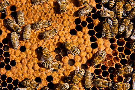 colmena: Abejas ocupadas, opinión del primer de las abejas que trabajan en el panal. Las abejas de cerca muestra algunos animales y la estructura de panal. Foto de archivo