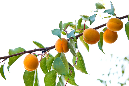 Ripe apricots growing on the apricot tree Stock Photo
