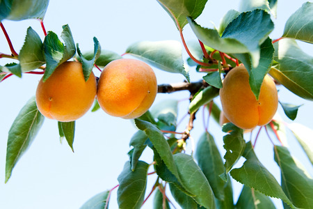 apricot tree: Branch of an apricot tree with ripe fruits
