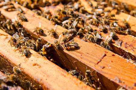 abejas panal: Abejas ocupadas, opinión del primer de las abejas que trabajan en el panal. Las abejas de cerca muestra algunos animales y la estructura de panal. Foto de archivo