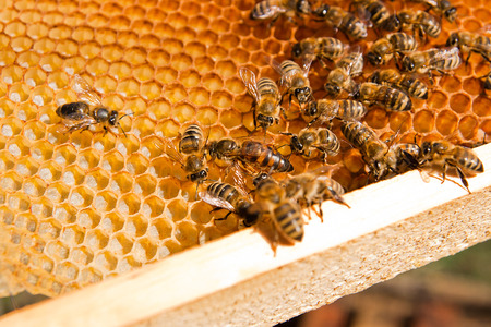 Busy bees, close up view of the working bees on honeycomb. Close up showing some animals with the queen bee in the middle and honeycomb structure.