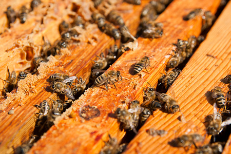 abejas panal: Busy bees, close up view of the working bees on honeycomb. Bees close up showing some animals and honeycomb structure.