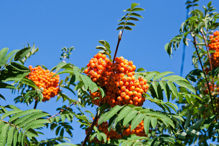 rowan tree: Rowan berries on a mountain ash or rowan tree in summer with green leaves.