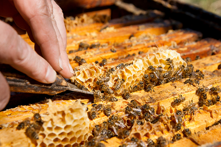 to ensure: Beekeeper checking a beehive to ensure health of the bee colony or collecting honey. Stock Photo