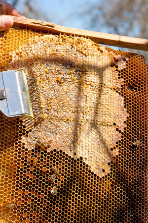 ensure: Beekeeper checking a beehive to ensure health of the bee colony or collecting honey. Honey is beekeeping healthy produce. Bee honey collected in the yellow beautiful honeycomb. Stock Photo