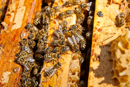 Close up view of the opened hive body showing the frames populated by honey bees.