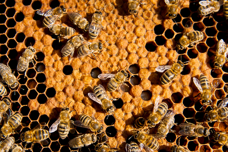 abejas panal: Abejas ocupadas, opini�n del primer de las abejas que trabajan en el panal. Las abejas de cerca muestra algunos animales y la estructura de panal. Foto de archivo