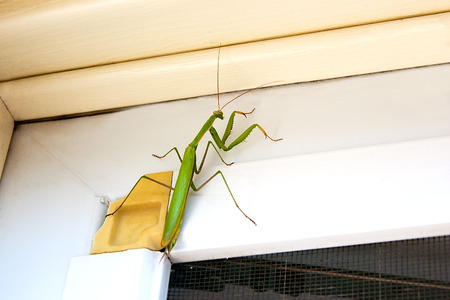 extermination: Praying Mantis insect in nature as a symbol of green natural extermination and pest control with a predator that hunts and eats other insects as an icon of entomology biology education. Stock Photo