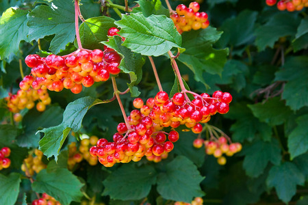 guelder: Close up of bunches of red berries of a Guelder rose or Viburnum opulus shrub on a sunny day at the end of the summer season. Stock Photo