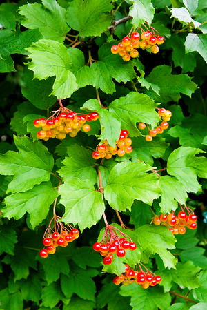 guelder rose: Branches of red berries of a Guelder rose or Viburnum opulus shrub on a sunny day at the end of the summer season.