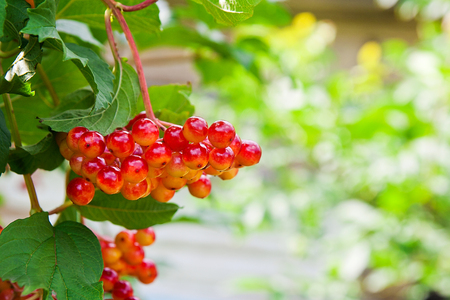 guelder: Close up of bunch of red berries of a Guelder rose or Viburnum opulus shrub on a sunny day at the end of the summer season. Stock Photo