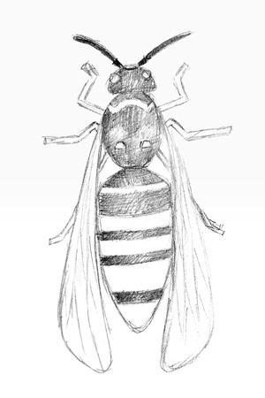 wasp: Pencil drawing by the wasp on the white paper. Original pencil or drawing charcoal, and hand drawn painting.
