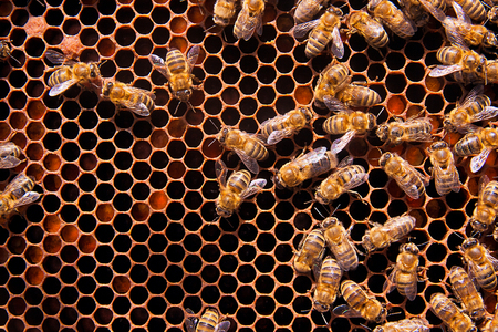 honeycomb: Busy bees, close up view of the working bees on honeycomb. Bees close up showing some animals and honeycomb structure.