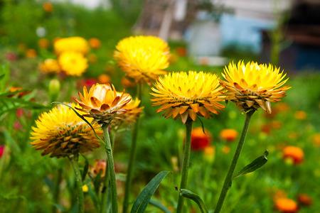 Yellow helichrysum paper daisy straw flower. Helichrysum or Straw flower in outdoor garden. Yellow straw flowers, scientific name is Helichrysum bracteatum.