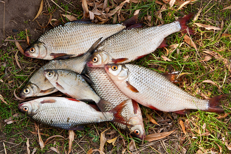 rutilus: Freshwater roach fish just taken from the water. Several of roach fish on the withered grass. Catching fish - common bream (Abramis brama), common roach (Rutilus rutilus).
